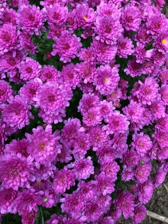 A Flower pink Sue